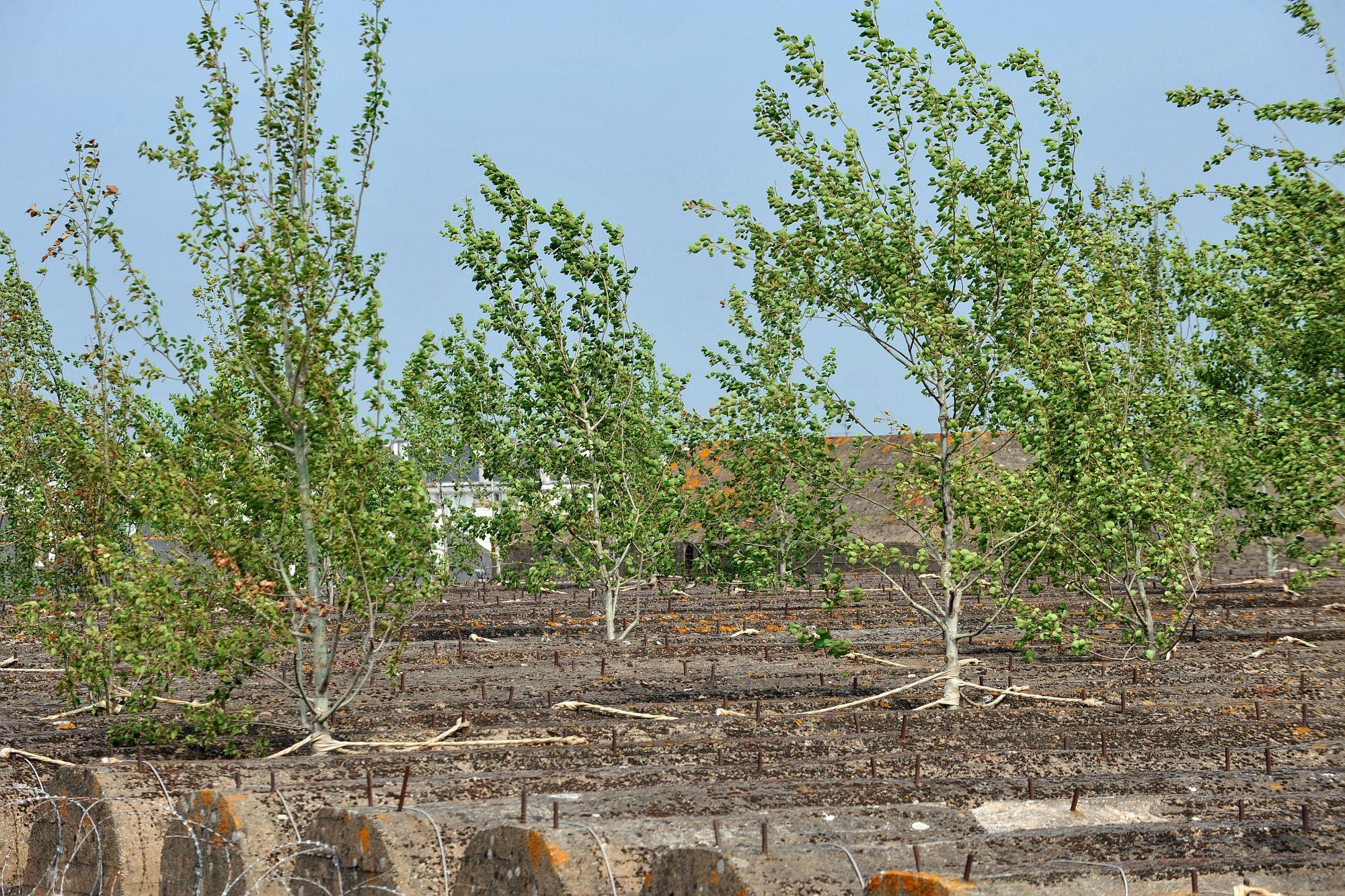 Toit de la Base sous-marine. Bois de trembles de Gilles Clément en 2009. Crédit Dominique Macel – Ville de Saint-Nazaire
